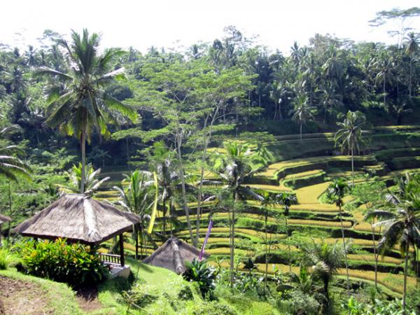 Les rizières en étages de Bali
