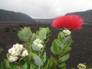arbuste-lave-volcanique